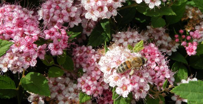 Honigbiene auf Spiersträuchern