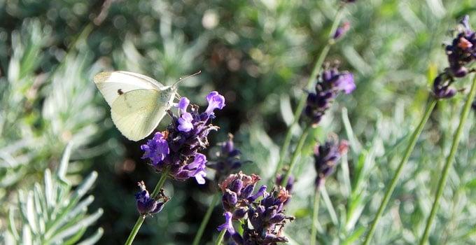 Weißling auf Lavendel